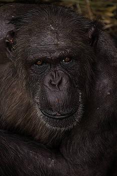 Chimpanzee by Kuni Photography