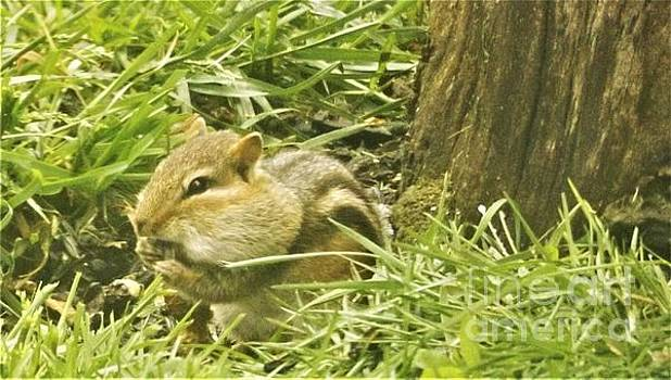 Chipmunk Portrait          May             Indiana by Rory Cubel