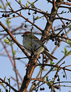 Chipping Sparrow by Steve Bell