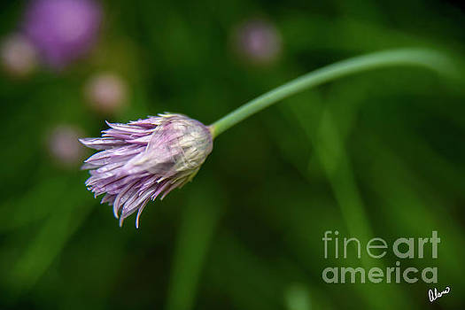 Chive Opening by Alana Ranney