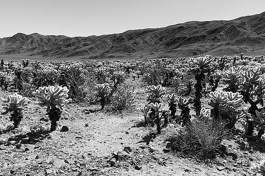 Cholla Cactus Black and White by Allan Van Gasbeck