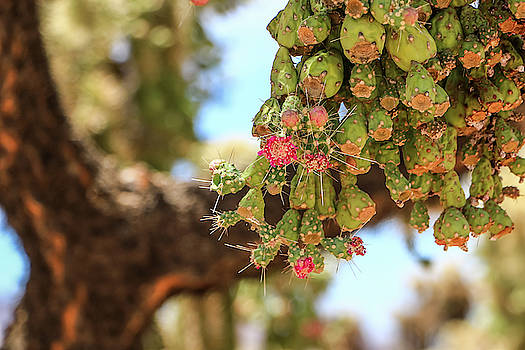Cholla Cactus Blooms by Dawn Richards