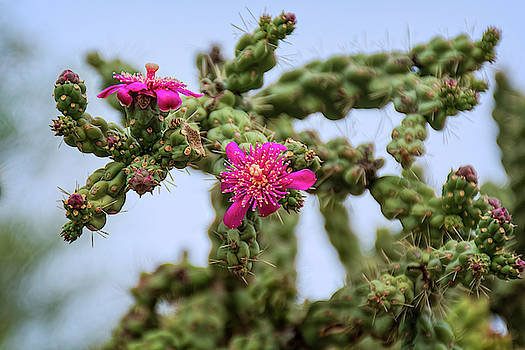 Cholla In Bloom h1957 by Mark Myhaver