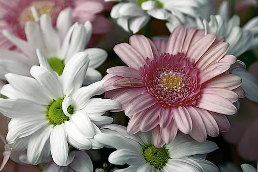 Daniel Hagerman - CHRYSANTHEMUM and GERBERAS FLOWERS
