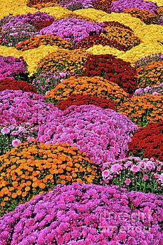 Regina Geoghan - Chrysanthemum Rainbow of Colors