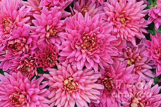 Regina Geoghan - Chrysanthemums in Rosy Pink