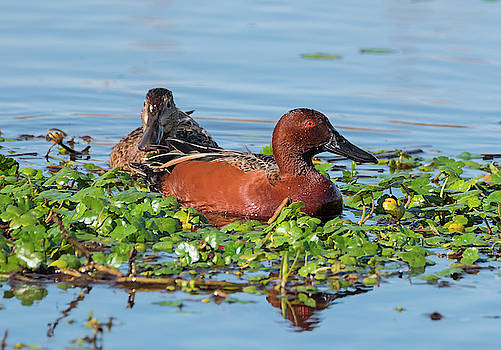 Loree Johnson - Cinnamon Teal Pair