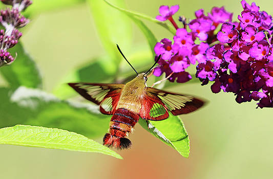 Clearwing Moth Sipping Nectar On Buddleia by Debbie Oppermann