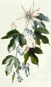 Marie-Anne - Clematis