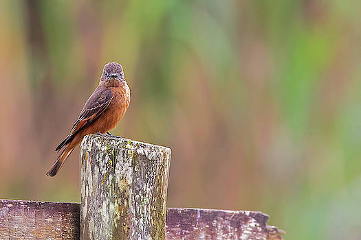 Cliff Flycatcher by Jean-Luc Baron