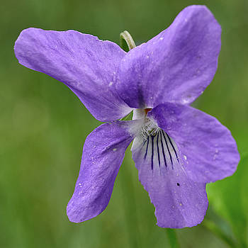 Close close closer. Wood violet 16 by Jouko Lehto