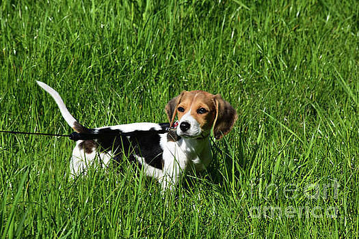 Close Up Look Into the Face of a Beagle Puppy Dog by DejaVu Designs