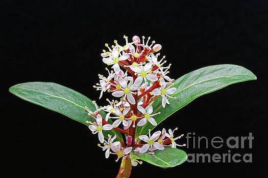close up white flowers evergreen shrub Japanese Skimmia japonica by Robert C Paulson Jr