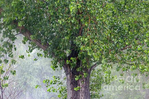 old Black Cottonwood tree in rainstorm by Robert C Paulson Jr