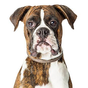 Closeup Boxer Dog Looking Forward by Susan Schmitz