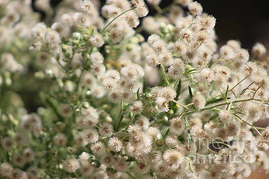 Closeup Fluffy Seed Heads by Colleen Cornelius