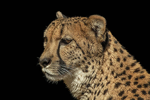 Closeup of a Cheetah by Constance Puttkemery