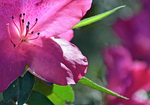 Closeup of Azalea  by Bruce Gourley