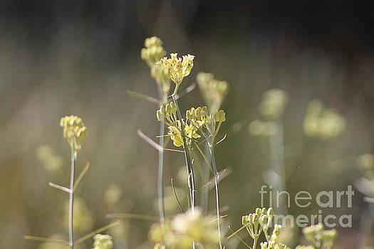 Closeup of Desert Milkweed Sunnyland Estates by Colleen Cornelius