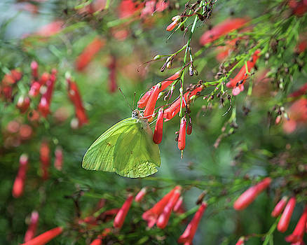 Rosemary Woods-Desert Rose Images - Cloudless Sulphur butterfly-IMG_189818