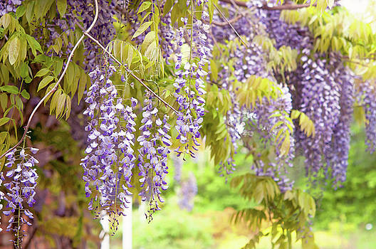 Jenny Rainbow - Clusters of Purple Blooming Wisteria Sinensis