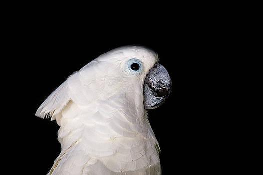 Cockatoo by Stephanie McDowell