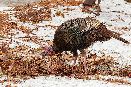 Cold Turkey by Sharon Mayhak