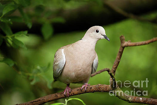 Simon Bratt Photography LRPS - Collared dove wild bird in a tree