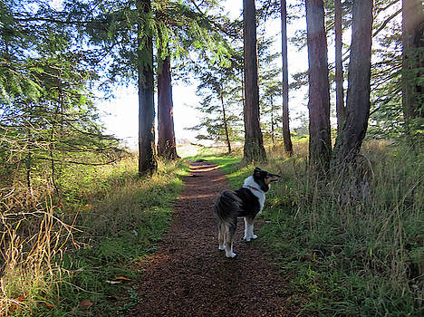 Collie in the Forest by Marie Jamieson