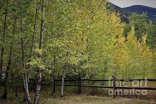 Colorado Aspens by Tammie J Jordan