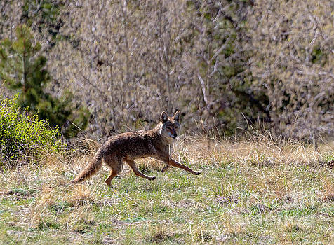 Colorado Rocky Mountain Coyote by Steve Krull