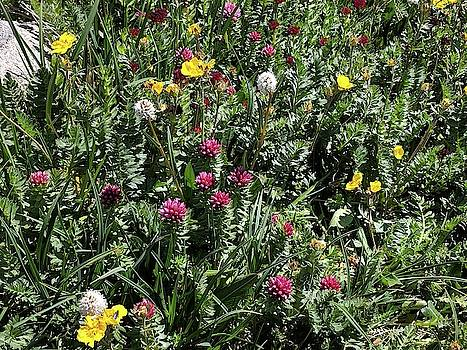 Alpine Colorado Wildflowers by Julie Harrington