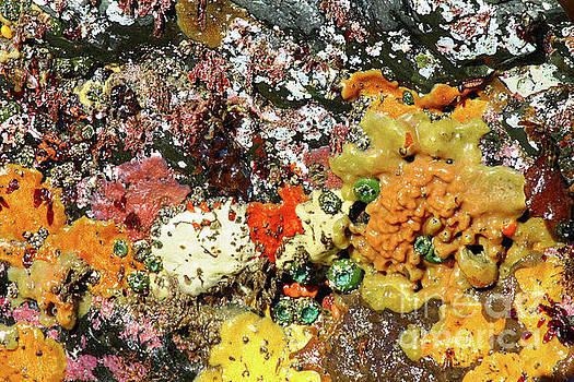 Colorful ocean sponges at low tide Oregon USA by Robert C Paulson Jr