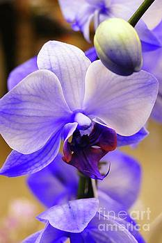 Colorful Orchids by Cindy Manero