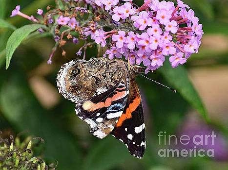 Cindy Treger - Colorful Red Admiral Butterfly