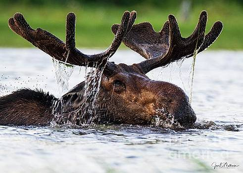 Coming Through - Bull Moose - Allagash Maine by Jan Mulherin