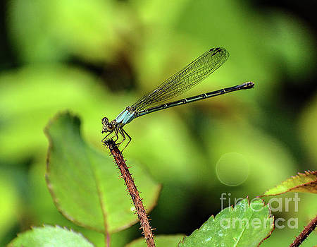 Cindy Treger - Common Blue Damselfly