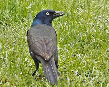 Common Bronzed Grackle                 April            Indiana by Rory Cubel