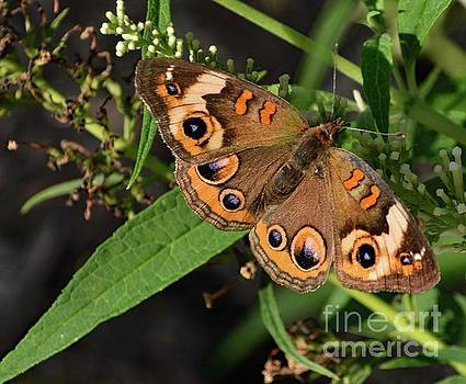 Cindy Treger - Common Buckeye Beauty On Display