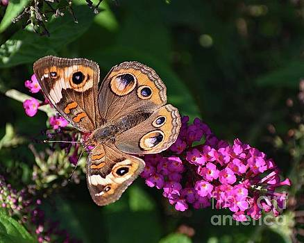 Cindy Treger - Common Buckeye On Pink Butterfly Bush