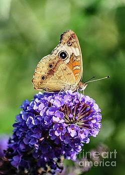 Cindy Treger - Common Buckeye Underwings