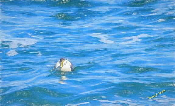 common Eider duck,blue ocean water. by Rusty R Smith