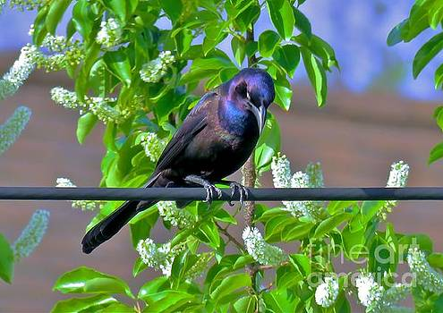 Common Grackle 32 by JudithAnne Monahan