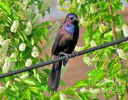 Common Grackle 33 by JudithAnne Monahan