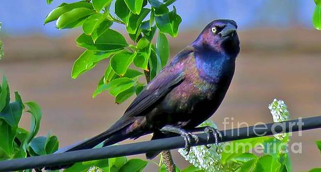 Common Grackle 34 by JudithAnne Monahan