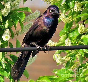 Common Grackle 35 by JudithAnne Monahan