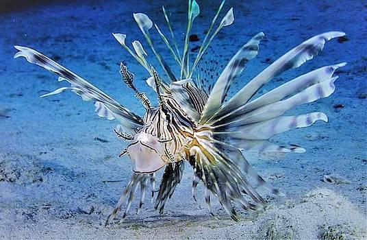 Common Lionfish by Savannah Gibbs