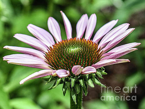 Coneflowers Showiness by Cindy Treger