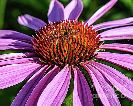 Coneflowers Morning Beauty by Cindy Treger
