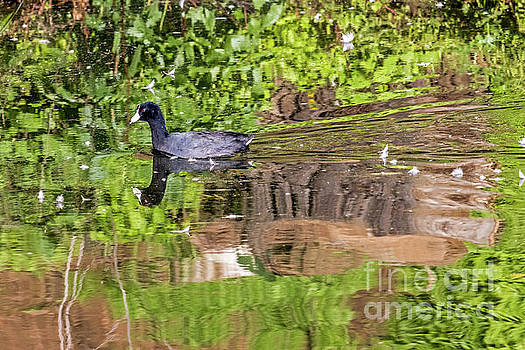 Coot in Green by Kate Brown